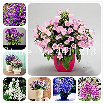 Potseed . 100pcs Glockenblume Blume, Staude Blumen, seltene Campanula Blume, Zimmerpflanzen Fresh Air Home Garten Dekoration: Gemischt
