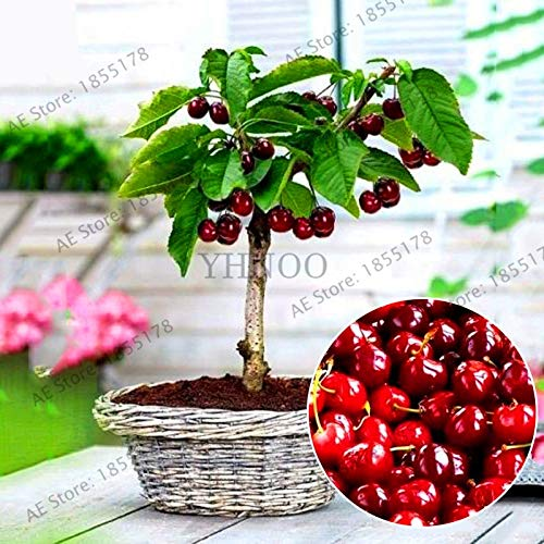 Pinkdose Neuankömmling!20 teile/beutel kirsche bonsai obst Pflanzen Süße Sylvia Aufrechte Kirsche Selbst fruchtbare Zwerg Baum Plantas pflanzentopf home gar