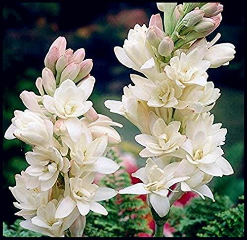 Mehrjähriges Kraut,Reichhaltiger Duft,Blüht das ganze Jahr über,Seltene Pflanze,Tuberose zwiebel,Gartenblühende Pflanze-5Zwiebeln,Weiß