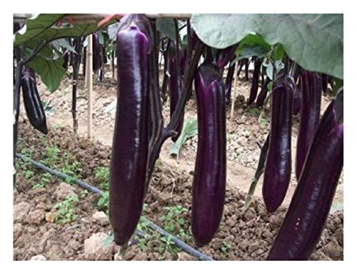 Premier Seeds Direct Lange Lila Aubergine beinhaltet 900 Samen