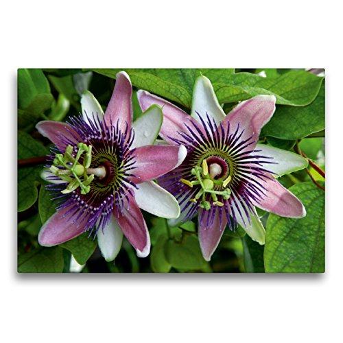 CALVENDO Premium Textil-Leinwand 75 x 50 cm Quer-Format Passiflora belotii ´Kaiserin Eugenie` x, Leinwanddruck von Martina Cross