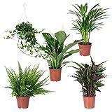 Mix'Air So Pure'   5 plantes vertes d'intérieur purificatrices   Hedera, Spathiphyllum, Areca, Calathea, Nephrolepis   Hauteur max. 80cm   Pots de Ø 17cm