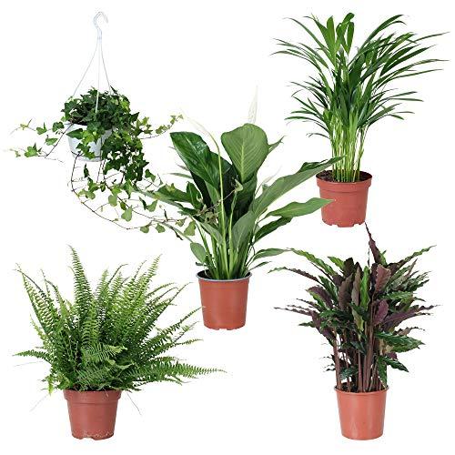 5 luftreinigende Zimmerpflanzen | Kombi-Angebot | Hedera | Spathiphyllum | Areca-Palme | Calathea und ein Baumfarn