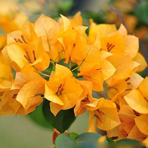 Venta caliente nuevas plantas florecientes únicas buganvillas amarillas Spectabilis Willd semillas Bonsai planta buganvillas semillas de flores 120 piezas