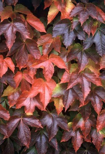 Portal Cool Paquete de semillas: Boston o semillas de hiedra japonesa brillante color del otoño de hoja caduca tolerante a las heladas