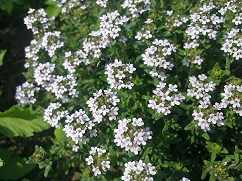 Asklepios-seeds® - 5000 Semillas Thymus vulgaris tomillo, arigola, boja, bojas, estremoncello, estremoncillo, thymo con hojas más anchas, timoncillo, tomello