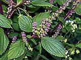 Semillas de Perilla Verde 200 Semillas de Perilla Frutescens para Ensalada Comestible