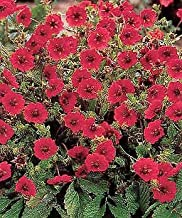Potentilla atrosanguinea Gibsons Scarlet 500 Seeds Need More? Ask