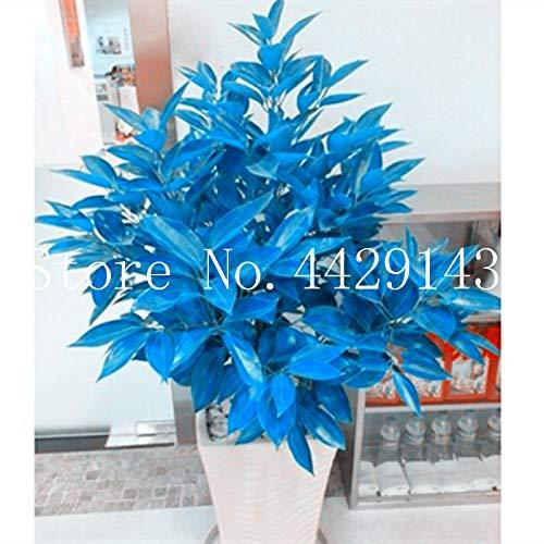 Pinkdose Immergrüner Baum Cinnamomum Pedunculatum Bonsai 100pcs Garten BegrüNung Japanischer Zimtbaum Familie Lauraceae Tian Zhu GUI Bonsai: gemischt