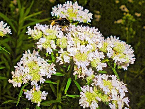 Virginia Mint Pycnanthemum Virginianum Mountainmint White Flower Herb jocad (500 Seeds)