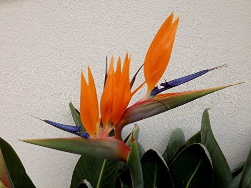 Strelitzienwelt Strelitzia Reginae Miniature - Seltene Züchtung - in Europa ansonsten nicht zu kaufen - orange blühende Strelitzie - Rarität, Jungpflanzengröße o. Topf 25 cm - 40 cm