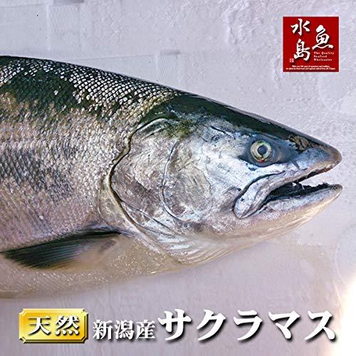 魚水島 新潟県産 天然サクラマス 本鱒 生一尾 3.0〜3.4kg
