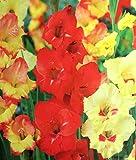 'Tequila Sunrise Mélange' Grande Floraison Glaïeul ~ 8ampoules 12/14cm +