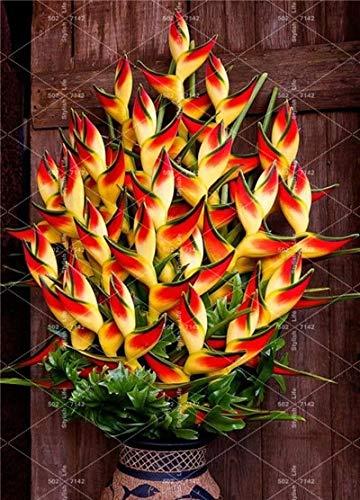 Einfach 100 Stück Heliconia Bonsai Rare Farbe Sucuulent Pflanze, falscher Paradiesvogel Indoor Bonsai-Pflanzen-Blume Flores, zu wachsen: 3