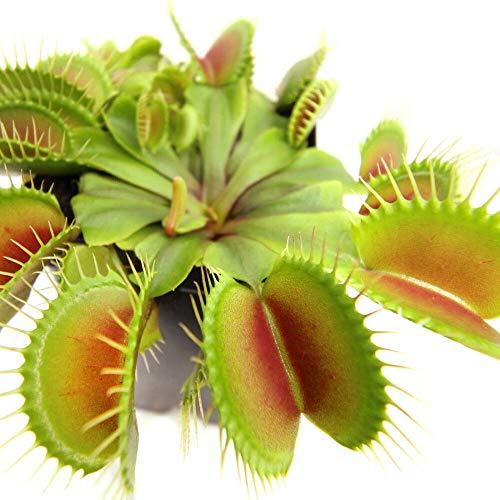 AchmadAnam - Live Plant Carnivorous Plant 3 Inch Pot 3 Small Venus Flytraps Fly Trap Indoor Best Gift
