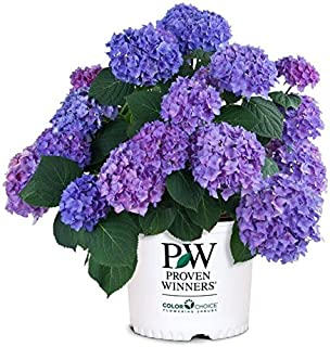 hydrangea fertilizer blue
