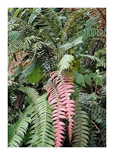 Blechnum fragile - fougère épiphyte - 10 graines