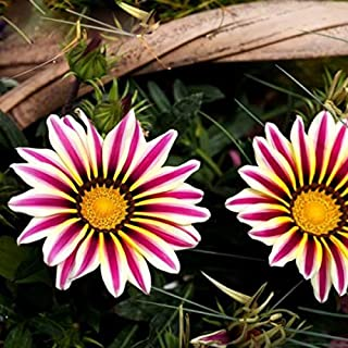 Perennial Chrysanthemum Butterflies Seed Hot Selling Rare White Side Stripes Purple Daisy Species Medal Medal Ju Potted Flowers Seed Gazania Sunflower Africa 120PCS