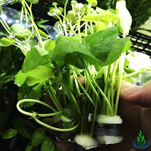 Greenpro Hydrocotyle Leucocephala 3-Bunch Brazilian Pennywort Stems Freshwater Live Aquarium Plants Used in Foreground, Midground or Background Fish Tank Decoration