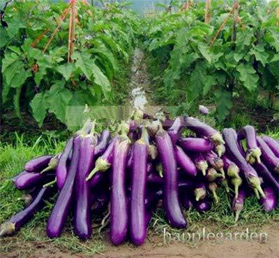 Bloom Green Co. 100 pcs. Berenjena China Vegetales Orgã¡Nicos Bonsai Plantas Redondas de Berenjena Negra Siembra 4 Estaciones Patio Balcã³n Planta en Maceta: 9