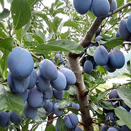 ShopMeeko GRAINES: haute qualité 10 Bonsaï/Pack Black Brin bonsaïs Plum Très savoureux bonsaïs Pruneau arbres fruitiers Jardin bonsaïs et légumes pot Fruits: gris clair
