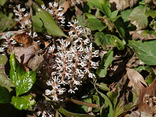 Byndgreenstore - Allegheny Spurge 5 Roots,(Pachysandra procumbens), Flowering-Plant
