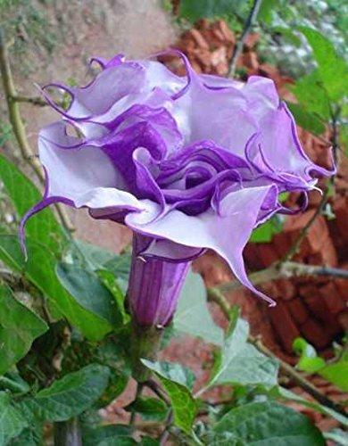 Datura purple queen double - Engelstrompete - Stechapfel - 5 Samen
