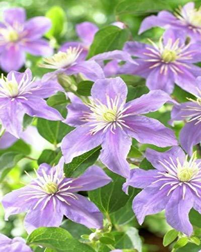 Green Seeds Co. 100 Clematis Pflanzen für Zuhause & amp; Garten Rosa Rebe Blumen Pflanze Bonsai Kletterpflanzen Twining Plant Sca Seltene Blume Plan: Schwarz