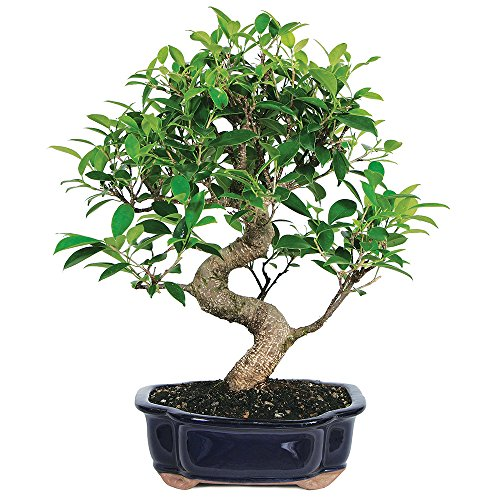 Brussel's Live Golden Gate Ficus Indoor Bonsai Tree - 7 Years Old; 8' to 10' Tall with Decorative Container