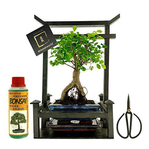 Bonsaiworld Bonsai Geschenkset Torri - 8 Jahre - Torri 26 x 15 x 34 cm