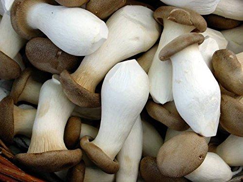 Pleurote du panicaut (Royal Oyster) Champignons/Mycélium Spores Spawn séchées Graines