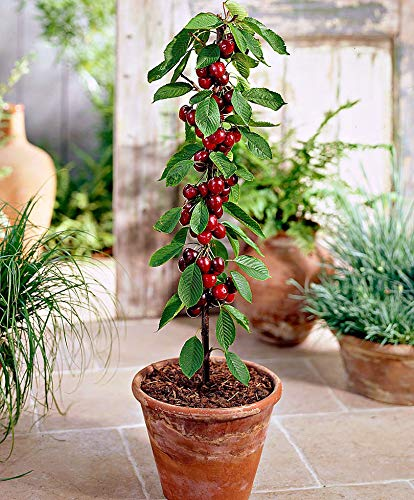 Prunus avium'Sylvia'   Kirschbaum  ...