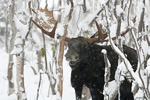 The Poster Corp Philippe Henry/Design Pics – Moose. Male Standing In A Forested Area Covered with Snow. Alces Alces. Gaspesie National Park. Province of Quebec. Canada. Photo Print (43,18 x 27,94 cm)