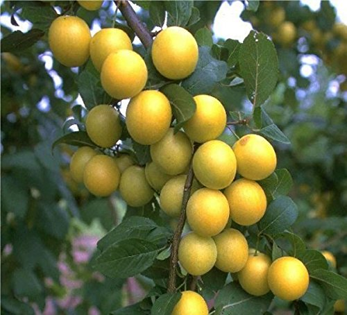 BellamiraⓇ, Mirabelle mit süßem, aromatischem Geschmack,Buschbaum, 120-140cm, im Topf