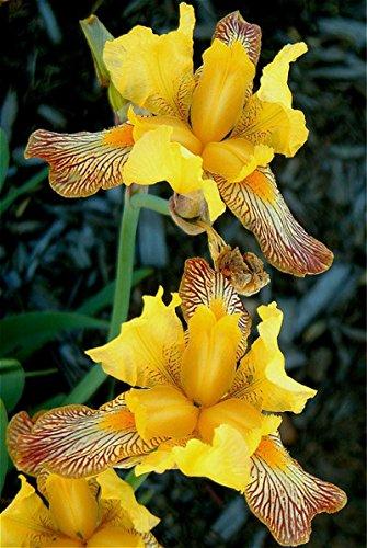 100 graines/Paquet tectorum Iris Graines rares vivaces Graines de fleurs Belle Plantes d'intérieur Fleurs semences Bonsai Garden Pots * Blue Sky