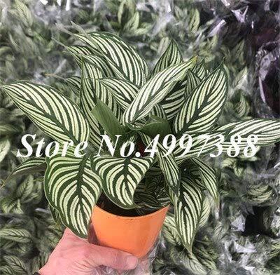 100 Pcs Rare Calathea Bonsai Air Freshening Plants Beautiful Flowers Bonsai Office Desk Bonsai For Flower Garden Ornaments plant : 24