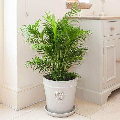 Areca Palm - Live Plant in an 10 Inch Growers Pot - Dypsis Lutescens - Beautiful Clean Air Indoor Houseplant