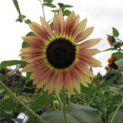 20 pcs/sac de graines de tournesol, graines de tournesol pour la plantation des graines de fleurs bonsaï croissance naturel pour le jardin de la maison Plantin 7
