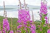 Cutdek 300+Fireweed Seeds Rosebay Willow HERB YANAGIRAN Native Medicinal Wildflower