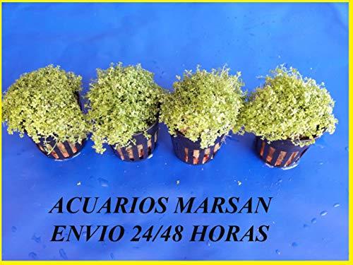 Plantas DE Acuario Lote 4 HEMIANTHUS Cuba