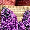 Escalade Fleur 100 Aubrieta Graines Cascade Purple Flowers Seed, Superb vivace Couvre-sol floraison des plantes pour jardin #1