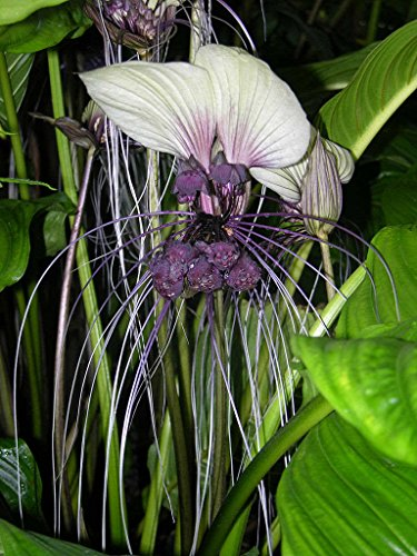 Tacca Nivea - White Bat Flower - seltene tropische Pflanze Baum Samen (10)