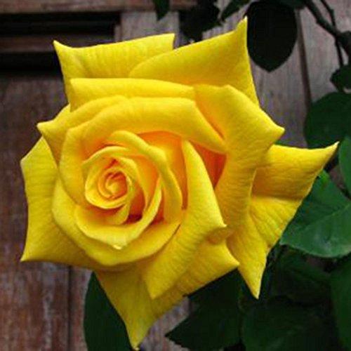 Semillas de Rosas Amarillo 10 PCS Semillas de Flores Raras para Jardin,...