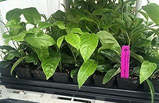 Passion Fruit Vine - Purple Passiflora Edulis LIVE PLANT - 3-8