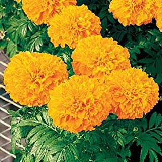 marigold inca ii orange