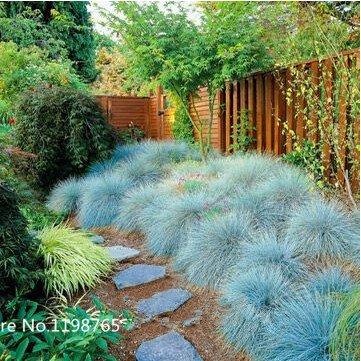 100 Bleu fétuque Seeds - (Festuca glauca) vivace herbe ornementale si facile à cultiver Bonsai Seeds