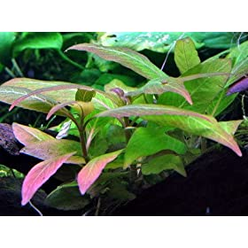 WFW wasserflora Mini Kirschblatt, Hygrophila corymbosa Compact