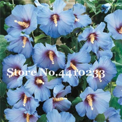 SANHOC 50pcs Gaint Hibiscus Bonsai 24 Arten chinesischer roseneibisch Blumen Planta Dwarf Baum Pflanzen Blumentopfpflanzen