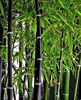 Rare Black Bamboo Seeds for Planting - 50+ Seeds - Grow Black Bamboo Privacy Screen Good for Environment - Ships from Iowa