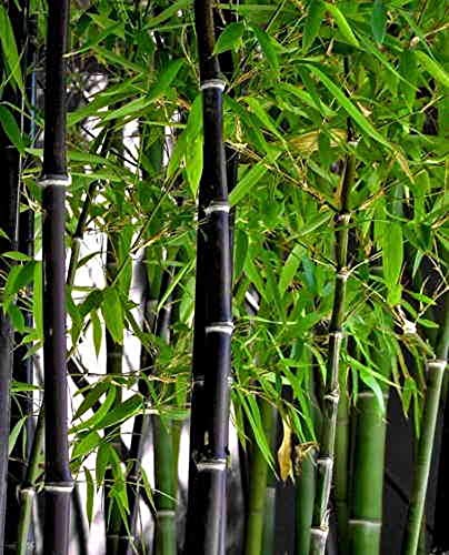 Rare Black Bamboo Seeds for Planting - 50+ Seeds - Grow Black Bamboo, Privacy Screen, Good for Environment - Ships from Iowa